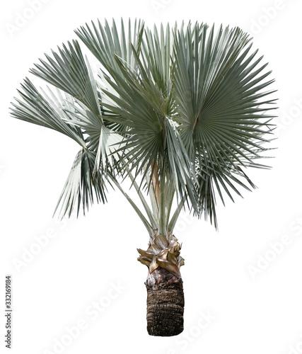 Fotografia Beautiful bismarck palm tree isolated on white background