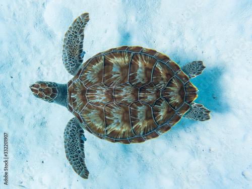 Obraz na plátně Green sea turtle swimming above white sandy ocean floor