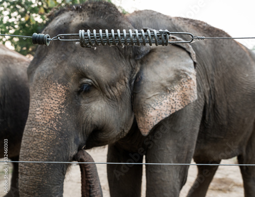 Valokuvatapetti Elephant in captivity behind an electric fence in Chitwan, Nepal
