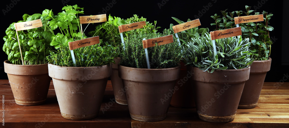 Homegrown and aromatic herbs in old clay pots. Set of culinary herbs. Green growing sage, oregano, thyme, savory, mint and oregano with lavender with labels <span>plik: #332488560   autor: beats_</span>