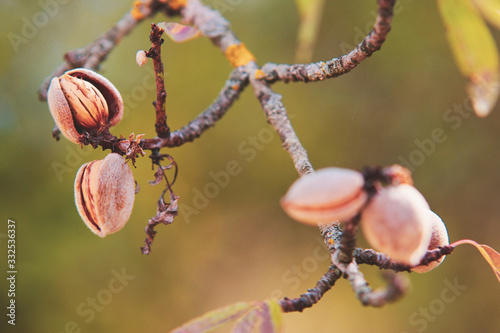 Murais de parede Ripe almonds nuts on almond tree ready to harvest in summer time