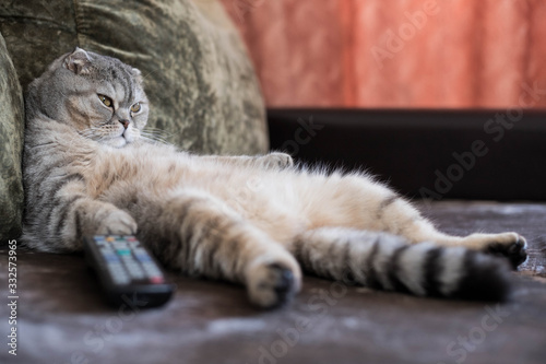 Wallpaper Mural A lazy fat cat is lying asleep on the sofa with a remote control from the TV