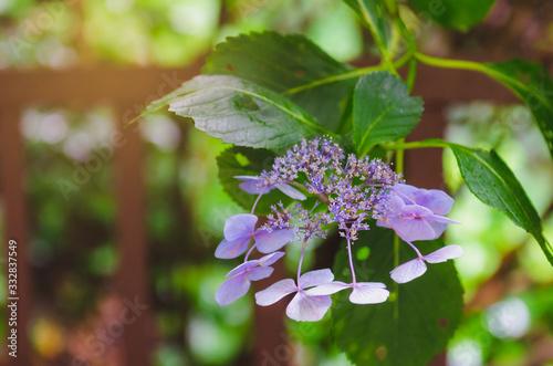 Wallpaper Mural Purple Hydrangea Serrata Bluebird blooms