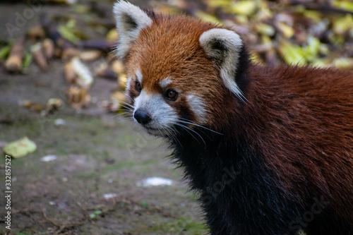 Obraz na płótnie Red panda in China