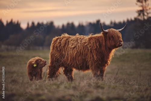 Fotografia Highland Cow And Calf