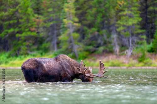 Fototapeta A young, male bull moose feeding in a lake in Glacier National Park, Montana, US