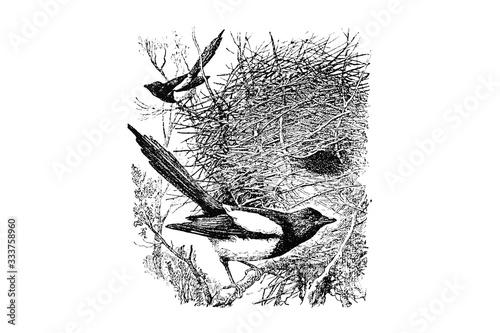 Canvas Print MAGPIE (Pica caudata) - Vintage Engraved Illustration 1889