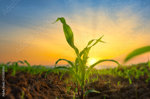 Foto Maize seedling in the agricultural garden with the sunset, Growing Young Green C