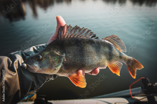Fishing background. Trophy fish perch.