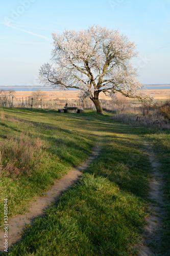 Foto Blooming almond tree in spring in Burgenland