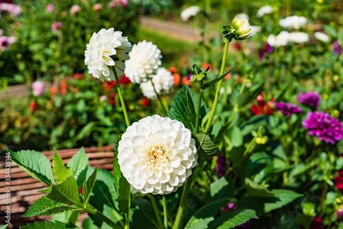 dahlia flowers in the garden Fototapete