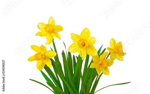 Yellow daffodils flowers isolated on white background Fototapet