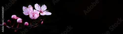 Valokuva Spring flower banner panorama - Pink beautiful blooming cherry blossoms isolated