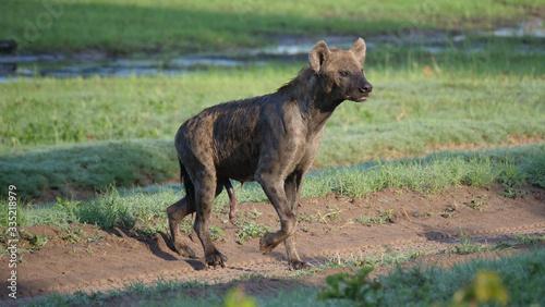 Obraz na plátně Spotted hyena walking around