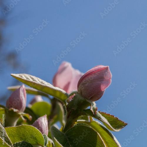 Leinwand Poster Fleur de cognassier sur fond de ciel bleu