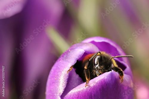 Sleepy bumblebee waking up from a crocus Fototapet