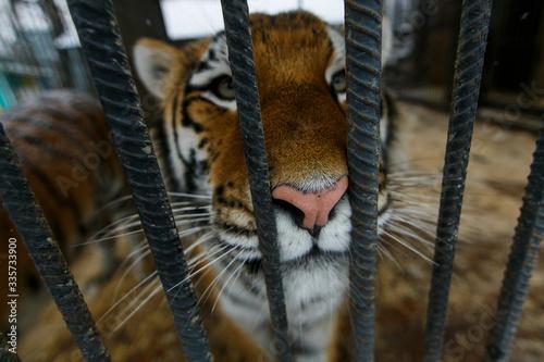 Foto Amur tiger in captivity