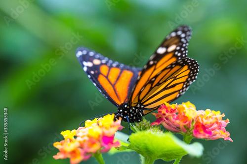 Canvas Print The monarch butterfly or simply monarch (Danaus plexippus) on the flower garden