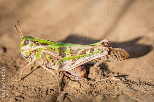 Fototapeta Green grasshopper laying eggs in soil