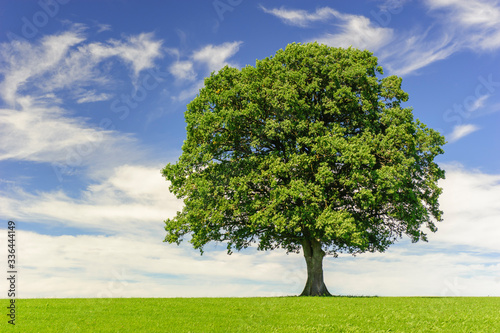 single big oak tree in field with perfect treetop