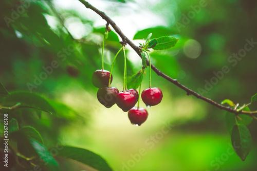 Foto Ripe cherries growing on a cherry tree branch