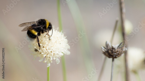 Fotografía blooming bumblebee with blur background and other flowers