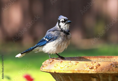 Photo Blue jay perched on the edge of a birdbath returns for a second dip