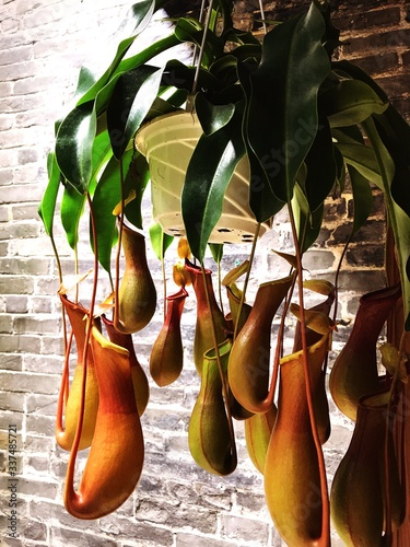 Cuadros en Lienzo Close-up Of Carnivora Plants Hanging Against Wall