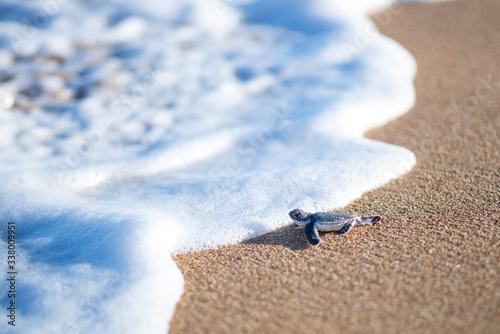 Baby turtle entering sea Fototapeta