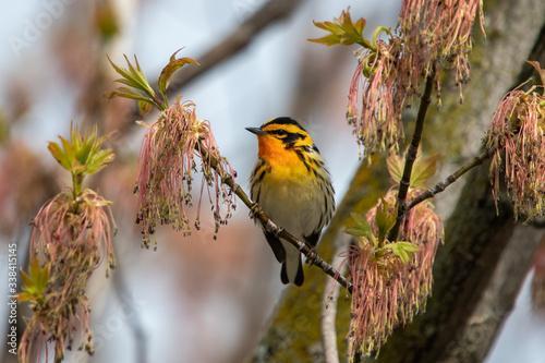 Fototapeta Blackburnian warbler suns itself in late fall