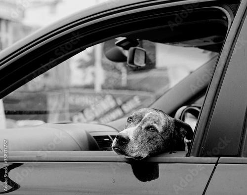 Obraz na płótnie Dog Sitting In Car