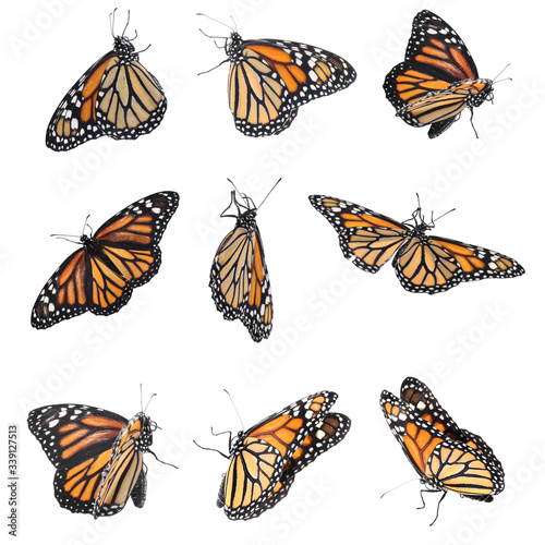 Carta da parati Set of many flying fragile monarch butterflies on white background