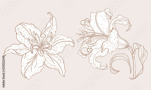 Fotografia Asian Lily inflorescence and steam flower