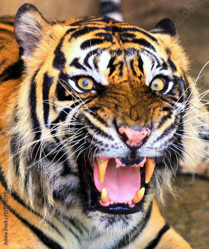 Fotografie, Obraz Portrait Of Sumatran Tiger