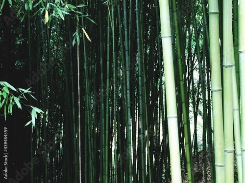 Cuadros en Lienzo Bamboos Growing In Forest