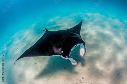 Photo Manta ray swimming over sandy sea bed in the wild