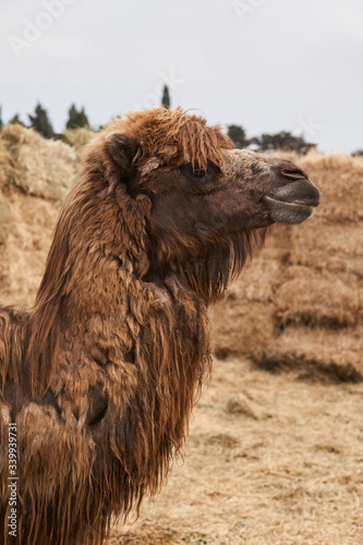 Photo Bactrian camel family. Camel and camel colt on farm, outdoors.