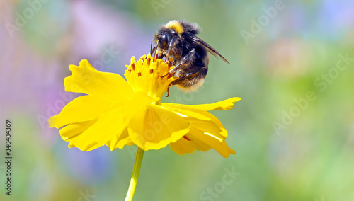 Photo Close-up Of Bumblebee On Yellow Flower