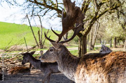 Sarny i jelenie w naturalnym srodowisku.  Dzikie zwierzeta z bliska.  Dzika przyroda z bliska. MLode i dorosle jeleni i sarny. Wypoczynek zwierzat.  Piekne rogi.