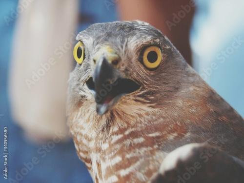 Valokuvatapetti Close-up Portrait Of Hawk