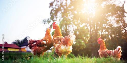 Fototapeta rooster, hen and chick nature organic range