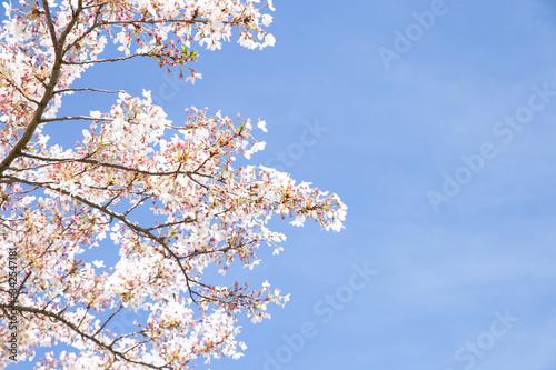 Fotografiet cherry tree blossom, sakura flowers, pink spring seasonal floral background
