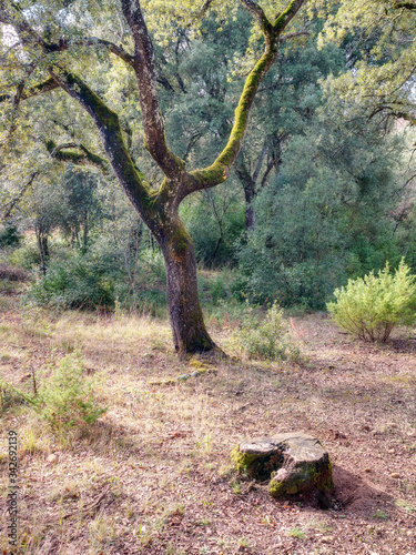 Holm oak in the forest of Santa Cruz de Campezo, Álava, Basque Country, Spain. Typical landscape of the Montaña Alavesa area.