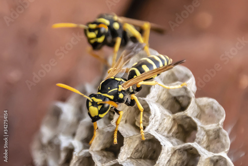 Vászonkép wasp sitting on top of wasp nest close up