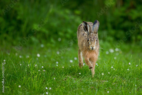 Fotografiet Close-up Of Hare On Grassy Field