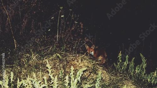 Fotografía Fox On Field At Night