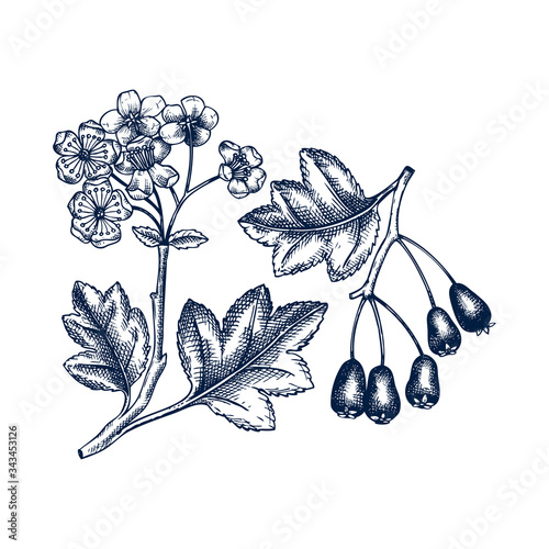 Fotografie, Obraz Hand drawn hawthorn with berries and flowers vector illustration in engraved style