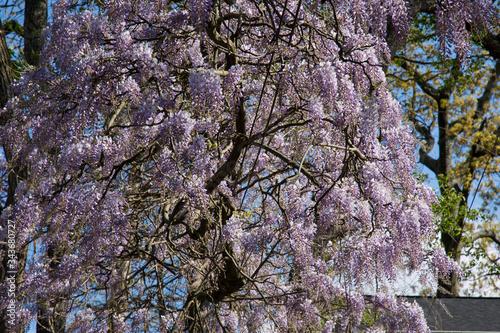 Obraz na plátně Magnificent purple majesty of a wisteria vine as it traverses a power line in the springtime