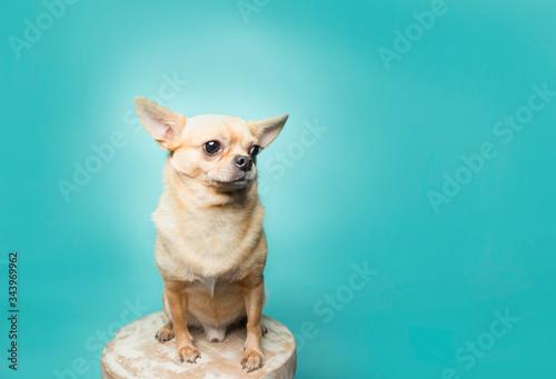 Fotografie, Obraz Tan chihuahua sitting on stool on aqua background, clean modern