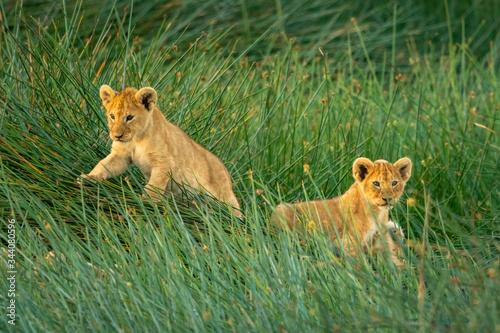 Fotografia Two lion cubs lie in long grass